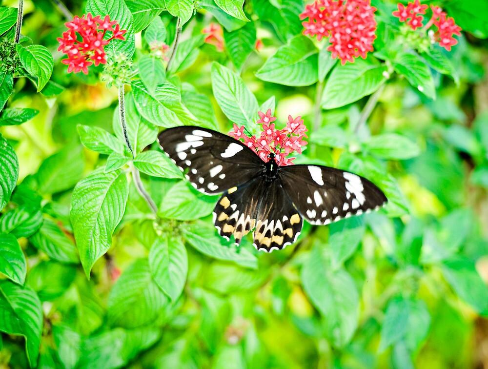 Gentle Giant - female Cairns birdwing butterfly by Jenny Dean
