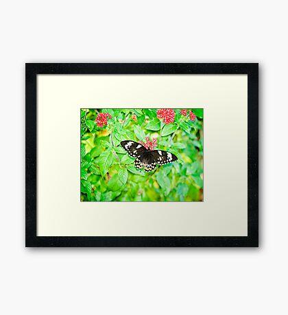 Gentle Giant - female Cairns birdwing butterfly Framed Print