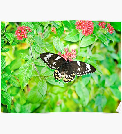 Gentle Giant - female Cairns birdwing butterfly Poster