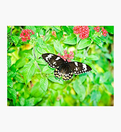 Gentle Giant - female Cairns birdwing butterfly Photographic Print