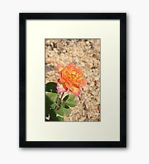Yellow, pink, red rose Framed Print