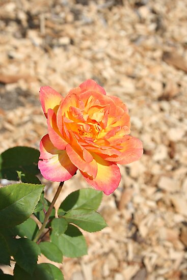 Yellow, pink, red rose by RitasBitsOfLife