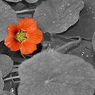 Solo Nasturtium Flower by Mike HobsoN