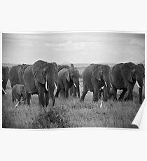 African Elephants (Loxodonta africana) Poster