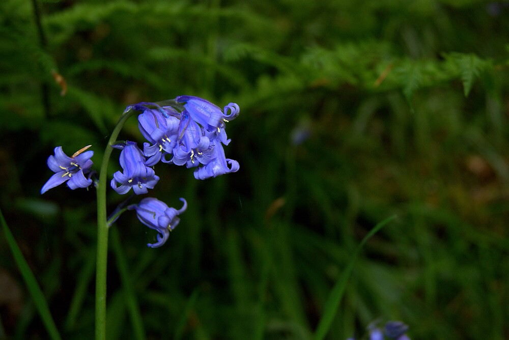 Bluebells by Lou Wilson