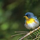 Northern Parula by Wayne Wood