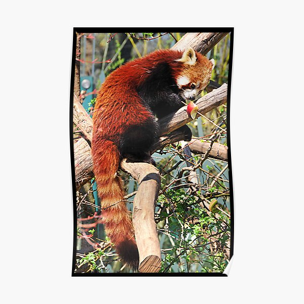 Red Panda eating red apple Poster