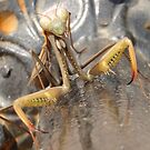 Praying Mantis in Macro by taiche