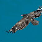 Turkey Vulture in Flight by (Tallow) Dave  Van de Laar