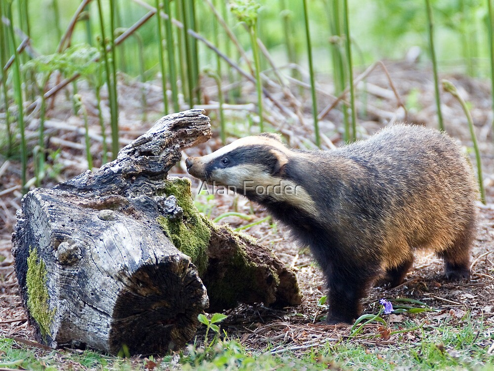 Badger by Alan Forder