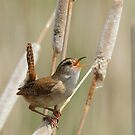 Singin' in The Wren by Todd Weeks