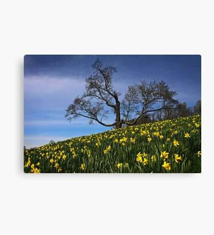 The Old tree and the Daffodils Canvas Print