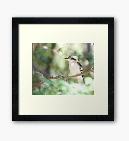 Kookaburra sits in the ole gum tree...   Framed Print