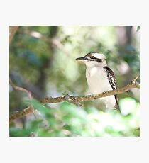 Kookaburra sits in the ole gum tree...   Photographic Print