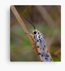 Moth Macro Canvas Print