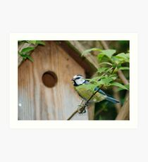One of Two Parent Blue-tits Nesting in our Garden. Art Print
