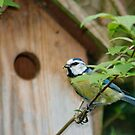One of Two Parent Blue-tits Nesting in our Garden. by Michaela1991