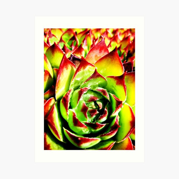 Sempervivum  Art Print