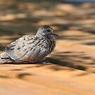 Dove Fledgling by Lynda   McDonald