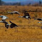 Sandhill Cranes by Marvin Collins