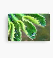 Water Droplets on Lady's Mantle Canvas Print