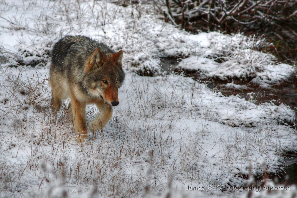 Kootenay Wolf by James Anderson
