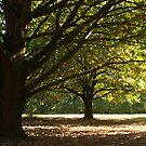Oak Trees in my front garden - Gippsland by Bev Pascoe