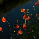 Papaver by THHoang