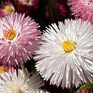 Macro image of two Bellis Flowers by John Gaffen