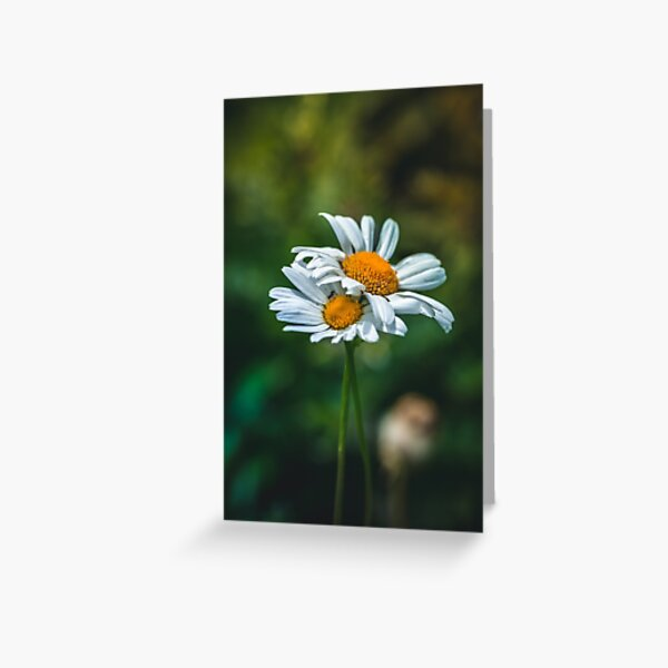 Close-up of white daisies on green background, in a meadow Greeting Card