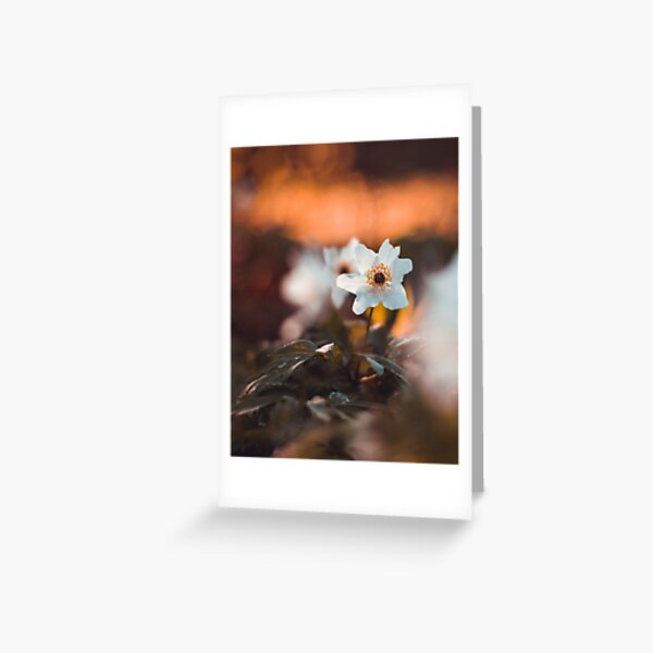White wooden anemone macro with brown and orange bakground Greeting Card