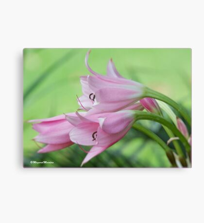 UNTOUCHED BEAUTY - the Indigenous Belladonna Lily - DIE BELLADONNA LELIE  Canvas Print