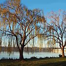 Willows along the Potomac River by Bine