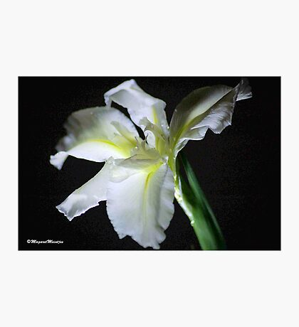 SIMPLICITY - THE WATER IRIS IN WHITE - WATER IRIS Photographic Print