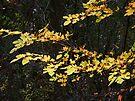 Autumn Gold by MarjorieB