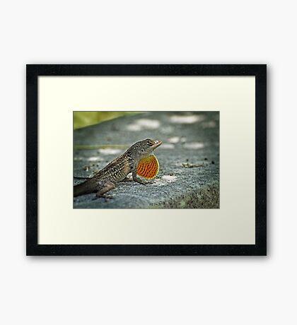 Cuban Lizard Framed Print