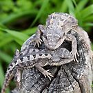 Mountain Dragon pair  by Thow's Photography