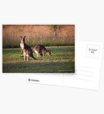 Kangaroos and baby Joey grazing at Vacy, NSW Australia Postcards