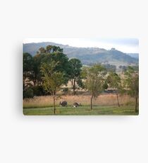 Kangaroos and their Joey -Vacy, NSW Australia Canvas Print