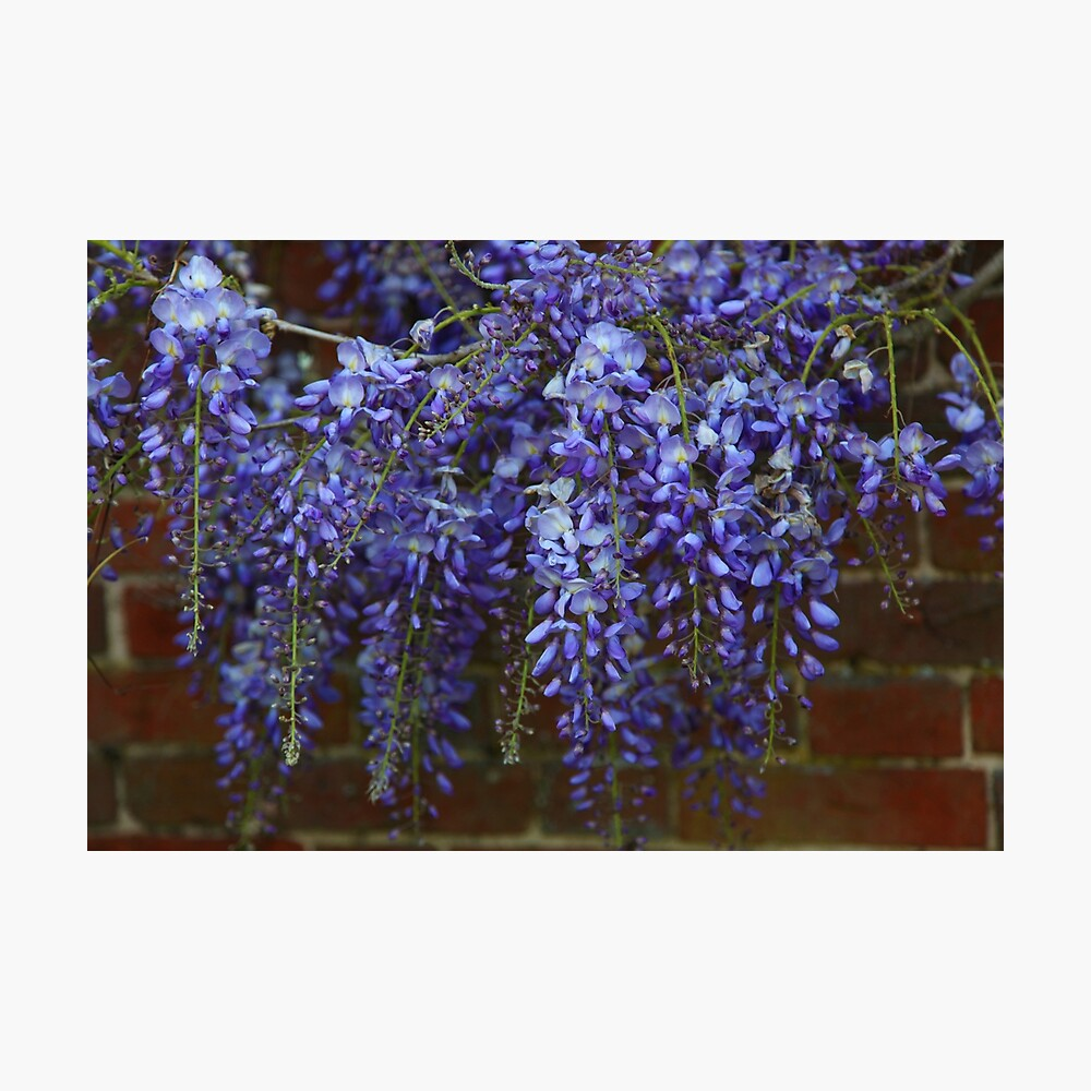 Wonderful Wisteria Photographic Print