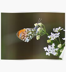 Male Orange Tip Butterfly ( Anthocaris Cardamines ) on Parsley Water Dropwort Poster