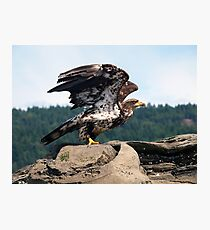 Bald Eagle Ready For Flight Photographic Print