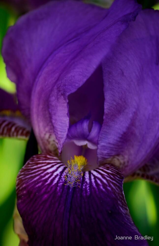 Purple Iris by Joanne  Bradley