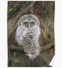 Barred Owl Chick Poster
