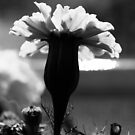 Marigold in black and white  by Jason Franklin