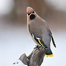 Bohemian Waxwing in Winter by Kim Barton