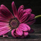 Pink Petals by Keri Harrish