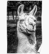HDR B&W Llama Poster