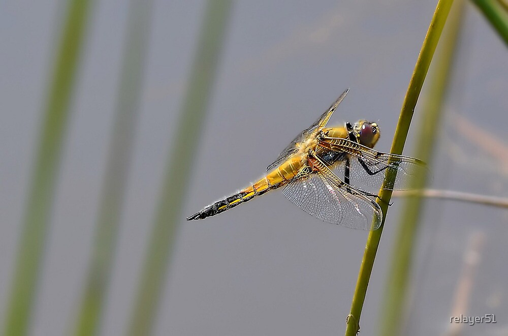 Broad -bodied female Dragonfly by relayer51