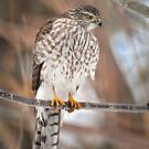 Sharp Shinned Hawk by Kim Barton